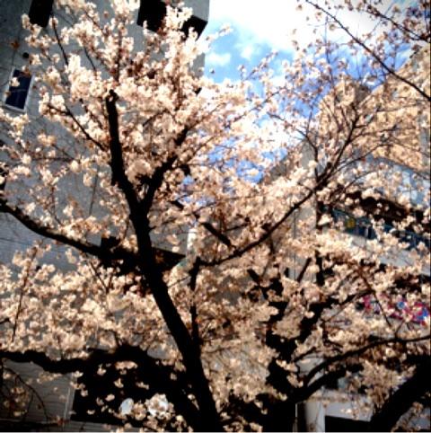 浅草の桜と水上バス