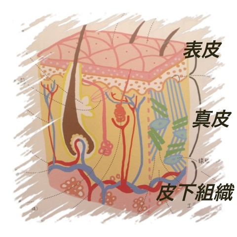 意外にしらない皮膚の構造